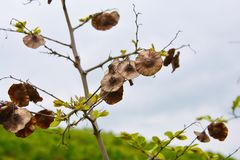 Seeds on tree branch, forest area in Azerbaijan Stock Image