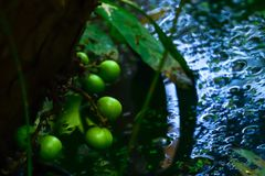 Seeds on tree. Wild fruits were not ripe to be attached to the branches all the time stock photography