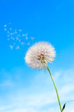 Seeds of umbrellas fly with dandelion on the Stock Image