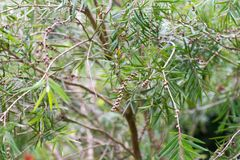 Seeds of the creek or weeping bottlebrush. Seeds of the weeping bottlebrush or creek bottlebrush tree Royalty Free Stock Images