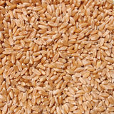 Seeds of wheat. Royalty Free Stock Photo