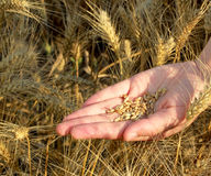 Seeds and wheat land Royalty Free Stock Photo