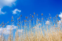 Seedy reed stalks and fluffy clouds Royalty Free Stock Photo