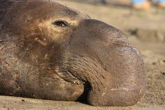 Seeelefant Lizenzfreie Stockfotos