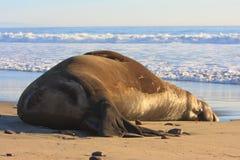 Seeelefant Lizenzfreies Stockfoto