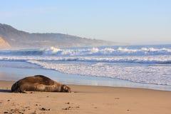 Seeelefant Lizenzfreies Stockbild