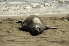 Seeelefant auf Strand Stockfotografie