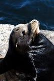 Seeelefant, der auf Felsen Monterey Kalifornien sich aalt Stockfoto