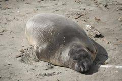 Seeelefant, der in Sun sich entspannt Stockbild