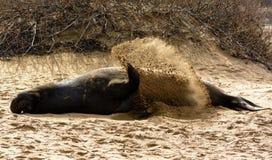 Seeelefant, der versucht, sich abzukühlen Stockbilder