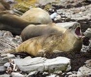 Seeelefant - Falklandinseln lizenzfreie stockfotografie
