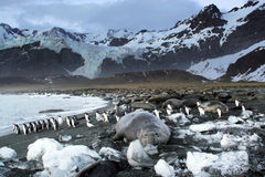 Seeelefant/Gentoo Pinguine Stockbild