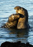 Seeelefant-Kuss Lizenzfreie Stockfotos