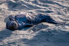Seeelefant-neugeborener Welpe stockbilder
