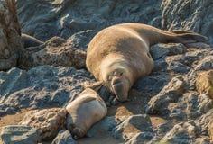 Seeelefant-Stillstehen Stockfotografie