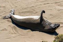 Seeelefanten Stockfotografie
