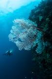 Seefächer Subergorgia SP in Gorontalo, Indonesien Lizenzfreies Stockfoto