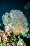 Seefächertauchersporttauchen bunaken Indonesien-Riffozean Stockfotos