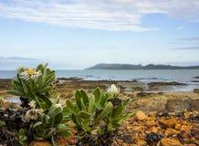 Seegänseblümchen mit Ozean Stockfotos