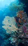 Seegebläse und -koralle Lizenzfreie Stockbilder
