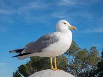 Seegull on the background of blue sky stock images