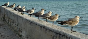 Seegulls ha allineato Immagine Stock