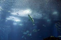 Seehaifisch, welche der Oberfläche sich nähert Stockfotografie