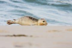 Seehund Lizenzfreie Stockfotografie