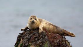 Seehund, der auf einem Felsen stillsteht Lizenzfreie Stockbilder