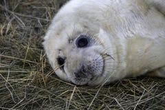 Seehundbaby, das in der Kamera schaut Lizenzfreie Stockfotos