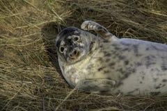 Seehundbaby, das an der Kamera wellenartig bewegt Lizenzfreie Stockfotos