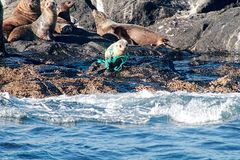 Seehundbaby, das in weggeworfenem Seil einschnürt Lizenzfreie Stockbilder