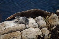 Seehundbaby und Mutter Lizenzfreie Stockfotografie