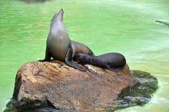 Seehundbaby und Mutter Lizenzfreies Stockfoto