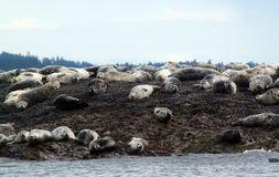 Seehunde, die auf Belle Chain Islands, BC sich aalen Stockbild