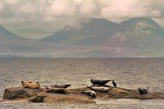 Seehunde, Schottland (Phoca vitulina) Stockfoto