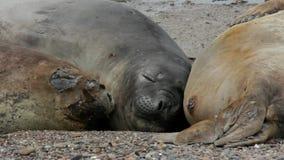 Seehundefamilie, die auf Strand sich entspannt stock footage