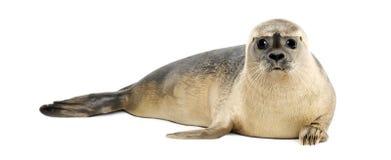 Seehundlügen, die Kamera betrachtend, Phoca vitulina Lizenzfreie Stockbilder