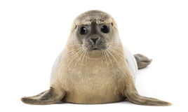 Seehundlügen, stellend, Phoca vitulina, 8 Monate alte gegenüber Stockbilder