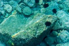 Seeigel auf den Felsen Stockfoto