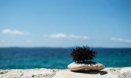 Seeigel auf Felsen mit Meer im Hintergrund Lizenzfreie Stockfotografie
