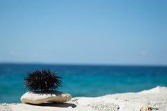 Seeigel auf Felsen mit Meer im Hintergrund Stockfotografie