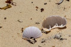 Seeigel Exoskeleton auf sandigem Strand stockfoto