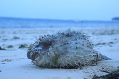 Seeigel liegt auf dem Strand des Indischen Ozeans in Kenia, Mombasa lizenzfreie stockfotografie
