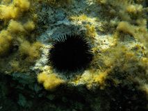 Seeigel Mittelmeer Comino royalty-vrije stock foto