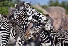 Seeing Black and White. Zebras at play at the local zoo Royalty Free Stock Photos