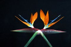 Seeing double birds of paradise. Bird of paradise flower abstract Royalty Free Stock Photography