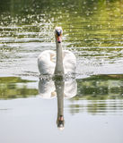 Swan - Seeing Double Royalty Free Stock Image