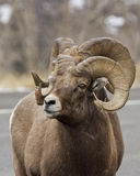 Seeing double. These two big horn rams, look like they have one body and two heads royalty free stock photography