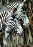 Seeing stripes zebras stock photography